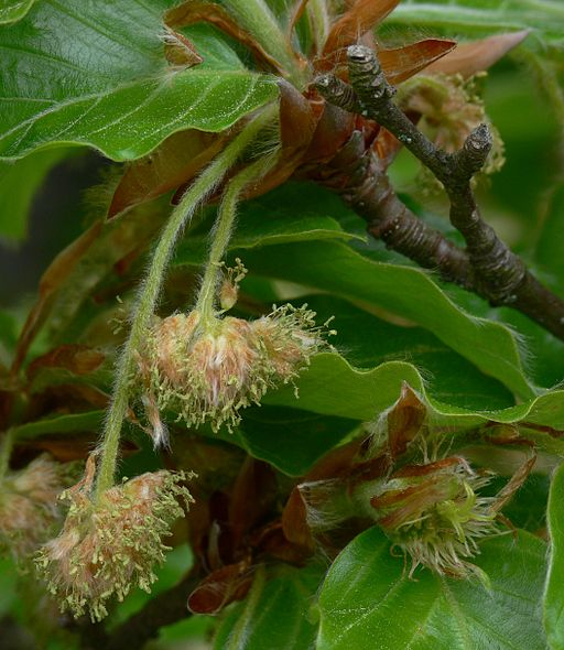 How Bach Flower Beech supports natural healing