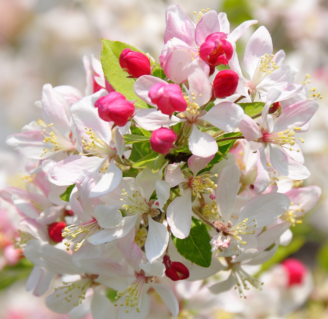 How Bach Flower Crab Apple supports natural healing
