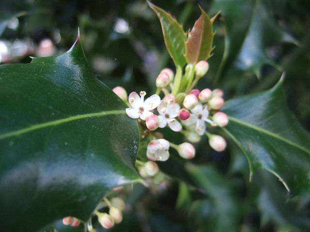 How Bach Flower Holly supports natural healing