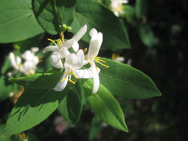 How Bach Flower Honeysuckle supports natural healing