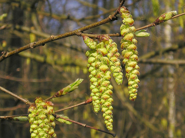 How Bach Flower Hornbeam supports natural healing