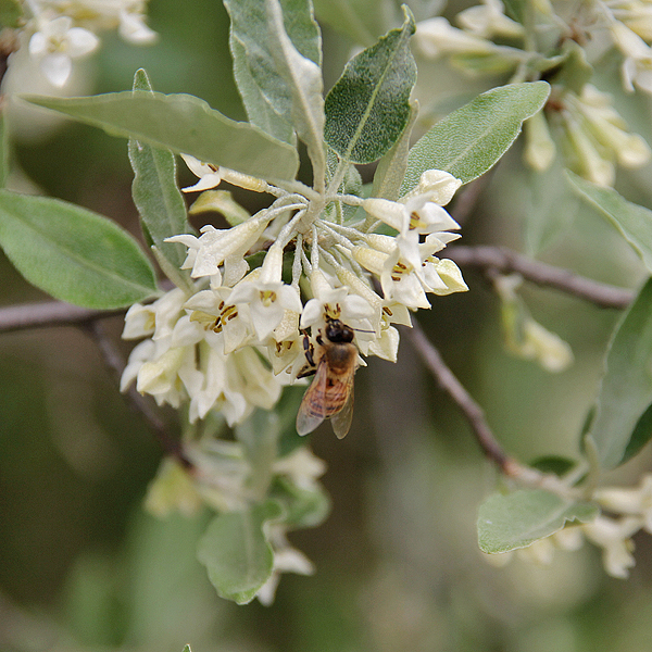 How Bach Flower Olive supports natural healing