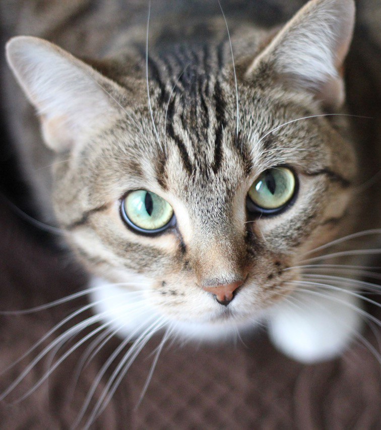 Herbal Treatments for Feline Eye and Ear Conditions