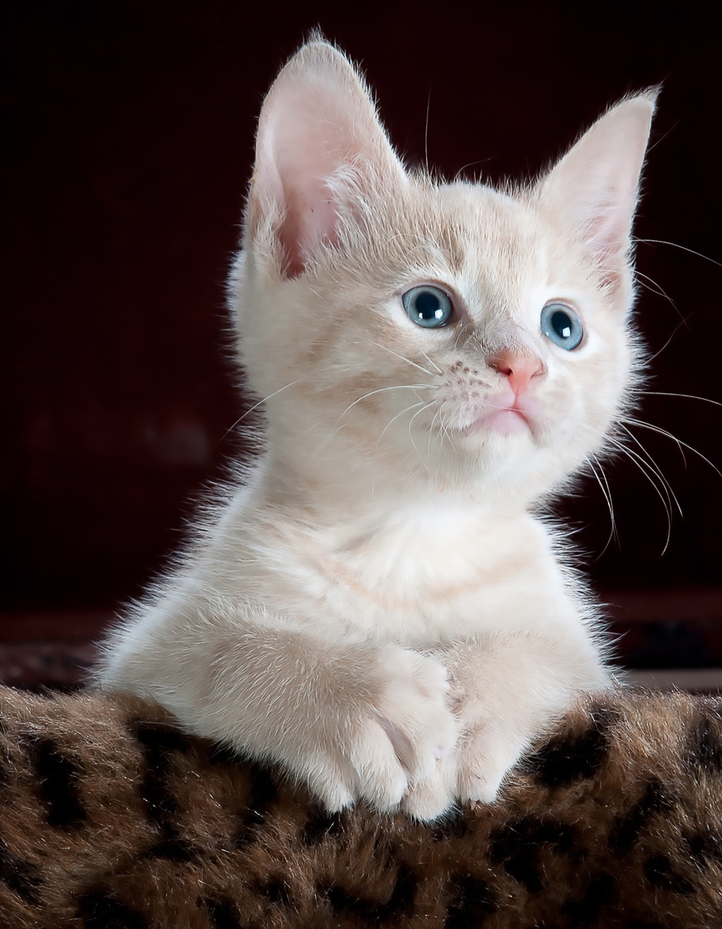 Herbal Treatments for Feline Kidney and Urinary Tract Treatment