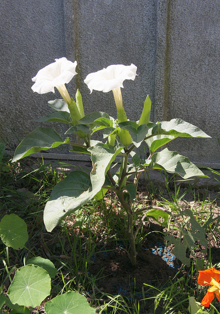 Datura -Jimson Weed, Moonflower- for Pain Relief, Emotional Release