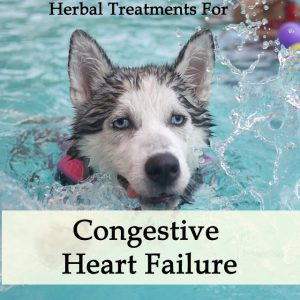 Herbal Treatment for Congestive Heart Failure in Dogs (Diuretic Support)