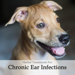 Herbal Treatment For Chronic Ear Infections in Dogs