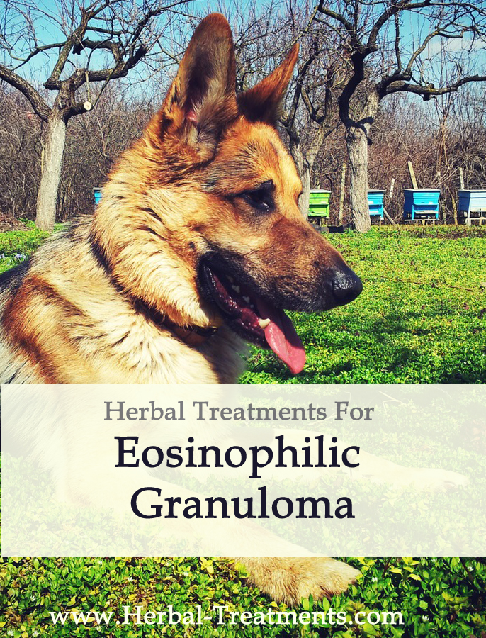 Herbal Treatment for Eosinophilic Granuloma (Rodent Ulcer) in Dogs