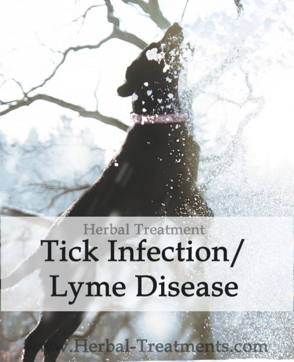 Herbal Treatment For Tick Infection/Lyme Disease in Dogs