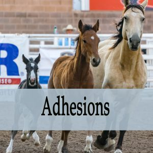 Adhesions in Horses