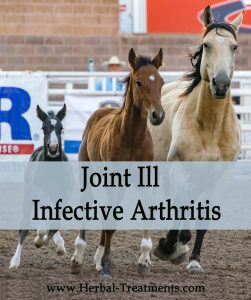 Herbal Treatment of Joint Ill - Infectious Arthritis in Horses