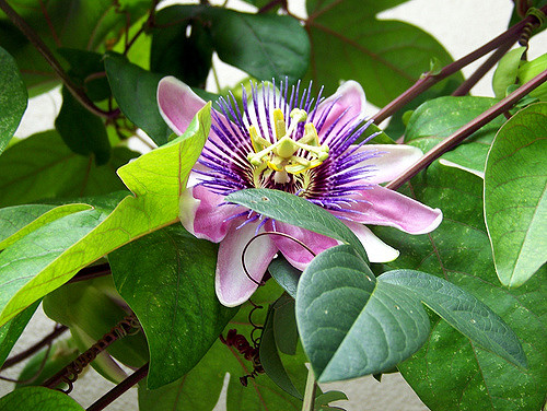 Why Passionflower  is in the Herbal Treatment for Recovery from Adrenal Exhaustion & Rehabilitation from Adrenal Abuse