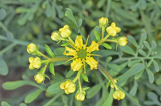 Why Rue is in the Herbal Anti-Inflammatory and Pain Killer Ointment
