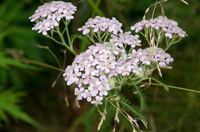 Why Yarrow  is in the Herbal Treatment for Painful Periods with Heavy Bleeding